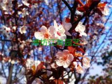 花海用花绿化苗木大量出售