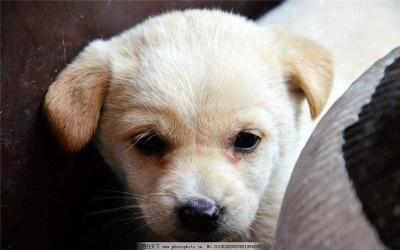 武汉专业养殖出售中华田园犬送货上门