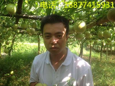 广西百香果多少钱一斤批发价格芭乐黄金果苗