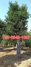 直销30公分柿子树基地