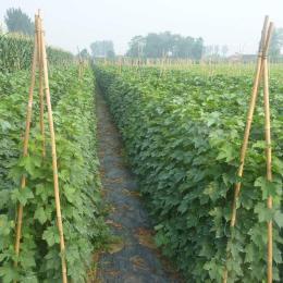 1-3年葡萄树苗多少钱 葡萄树新品种