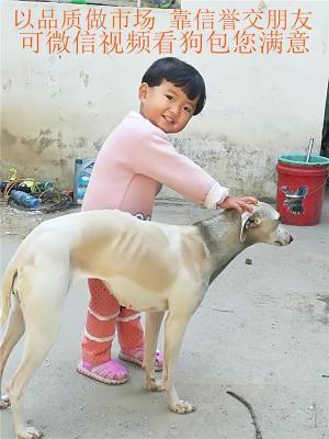 猎犬猎兔犬幼犬格力犬灵缇惠比特犬黑白活全