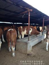 常年大量供應優質肉牛咨詢電話