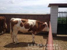 吉林賣西門塔爾牛的咨詢電話