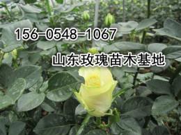山东3年生食用玫瑰苗木价格多少