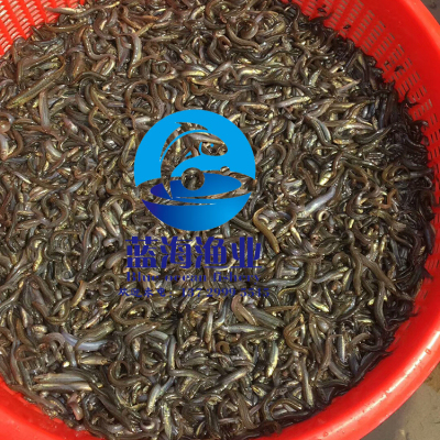 广东泥鳅苗 台湾泥鳅苗 纯种快大泥鳅苗