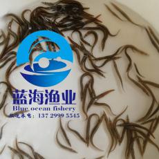 刺鳅鱼苗 刀鳅鱼苗 刺鳅鱼养殖技术