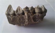 鉴定快速交易恐龙牙化石评估