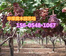 供应4公分优质葡萄树繁育场