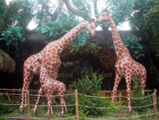 户外大自然保护区玻璃钢长颈鹿雕塑定制厂家