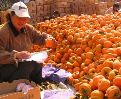 河北柿子价格 保定市满城区量大质优