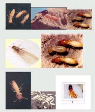 柳州灭鼠 灭蟑螂 白蚁防治 灭白蚁 灭鼠杀虫