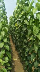 供應2公分杜仲樹苗10萬顆