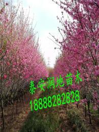 垂枝碧桃价格 垂枝樱花就价格 染井吉野价格