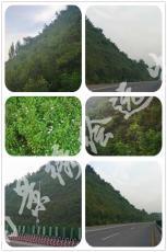 客土喷播养护 边坡绿化常用植物河南景绣