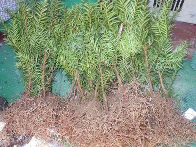 东北红豆杉苗 出售东北红豆杉价格
