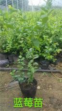 出售蓝莓苗 产地直销蓝莓苗 批发蓝莓苗批发