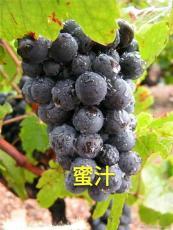 出售葡萄苗 贝达苗 占地葡萄苗 茉莉香葡萄