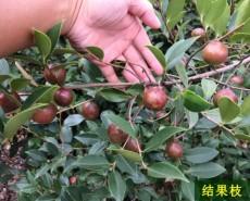 高產嫁接良種油茶苗批發價格1江西湖北安徽