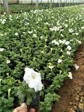 山东草花基地草花出售草花供应时令花卉出售