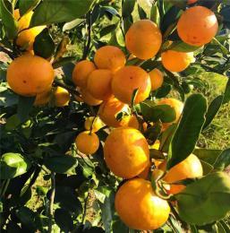 由良蜜桔图片价格管理技术供应柑桔苗脐橙苗