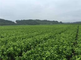 爱媛38号红美人柑桔苗提供云南大力种植