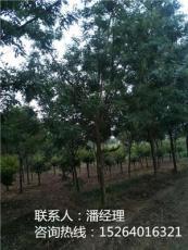 鼎潤苗木圖阜陽垂柳價格周口市垂柳價格