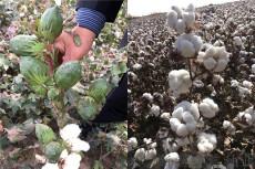 新疆棉花種子 價格 廠家 守信種業