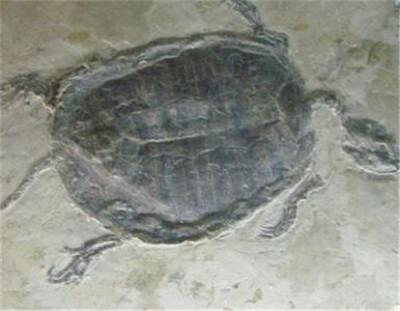2018年乌龟化石真假区分