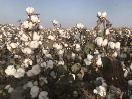 棉花種子新品種 新陸中66 棉花種子供應商
