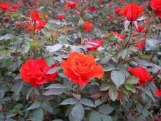 木本花卉栀子花 茶花球 红花继木球 月季