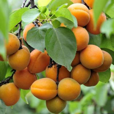 出售脆甜杏树苗 出售抗寒杏苗 出售嫁接杏树