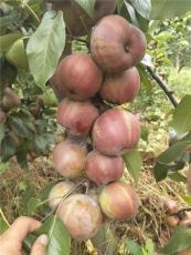 早酥红梨苗哪里有早酥红梨苗早酥红梨苗