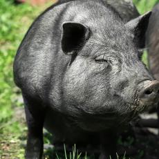 青菜果园天宇呈祥黑猪