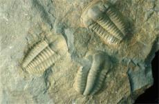 三叶虫化石一般现金收购价位是多少