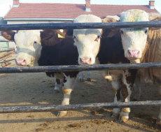 供应山西省忻州市肉牛犊价格