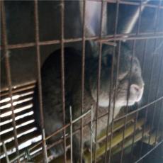 雜交野兔養殖前景與效益分析