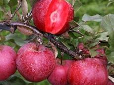 基地直销精品红肉苹果苗