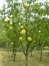 基地直销占地苹果树梨树桃树山楂树