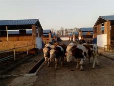 山西肉牛最新供应山西肉牛价格及时发布