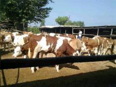 山西西门塔尔肉牛犊最权威的价格