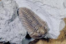 收购三叶虫化石一价格哪里高