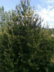 供山西1米白皮松2米白皮松樹苗3米白皮松樹