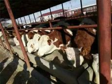 山西興牧西門塔爾肉牛場育肥技術大全