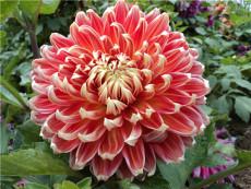 大麗花種苗供應商 大麗花種植 大麗花價格