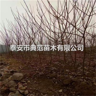 3公分杏树苗批发 3公分杏树批发供应
