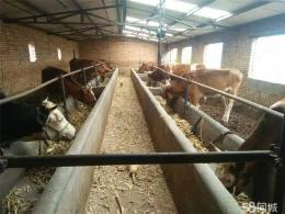 山西省忻州市肉牛现在的牛犊价格