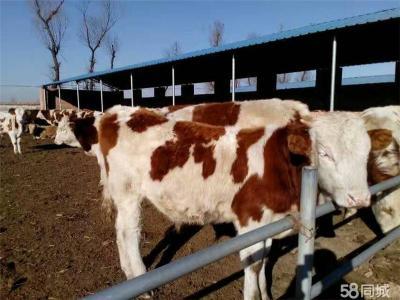 忻州西门塔尔肉牛养殖场兴牧场欢迎您