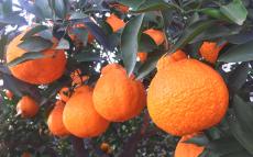 不知火柑橘丑柑货源一件代发