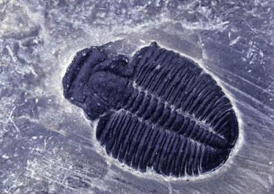 三叶虫化石在哪里交易可靠